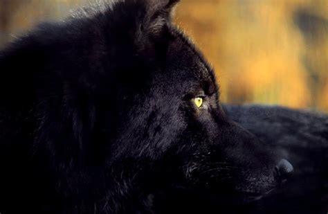 imagenes lobo negro cabeza del lobo negro im 225 genes y fotos