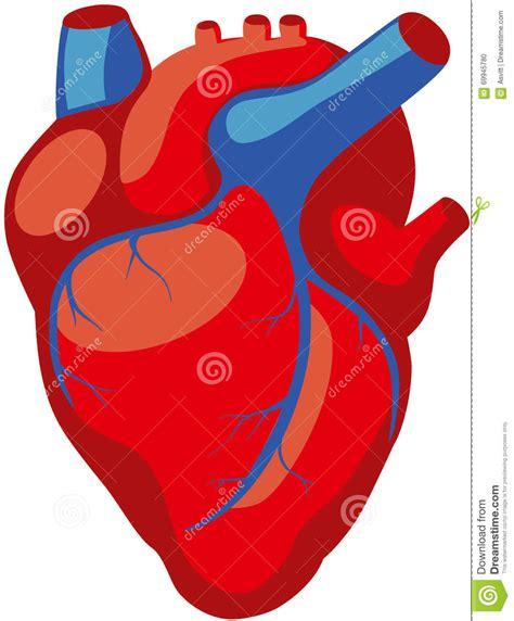 imagenes reales corazon humano coraz 243 n humano ilustraci 243 n del vector ilustraci 243 n de