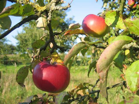 Apel Malang Cherry pemandangan buah apel slideshow panen buah pohon