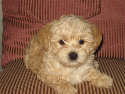 brown yorkie poo yorkie poo brown www pixshark images galleries with a bite