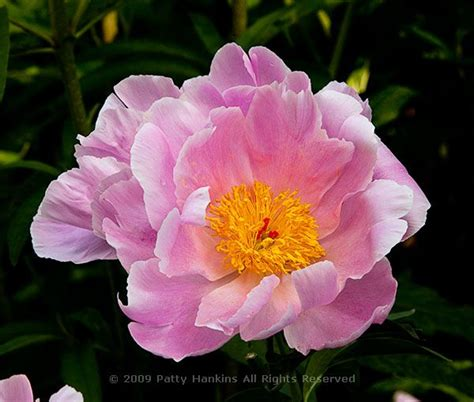 the pink peonies pink peonies beautiful flower pictures