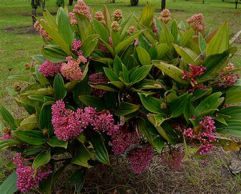 photos of colombia flowers medinilla magnifica photos of colombia flowers medinilla magnifica
