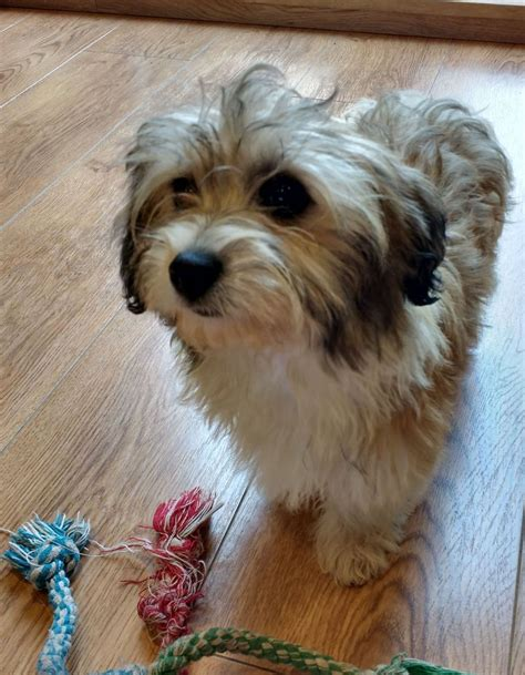 purebred havanese puppies for sale bred havanese puppy boy for sale ely cambridgeshire pets4homes