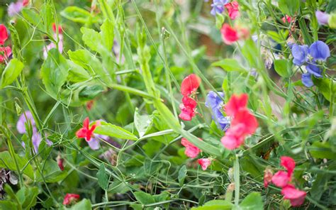 how to grow sweet peas sowing and growing instructions