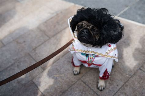 celebrating pugs and pups elvis the pug attends pugfest manchester
