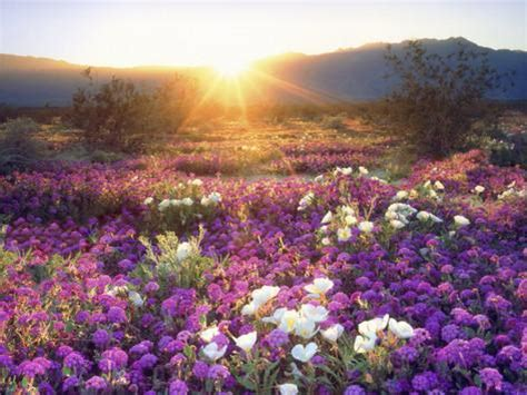 anza borrengo wildflowers sand verbena and dune primrose wildflowers at sunset anza