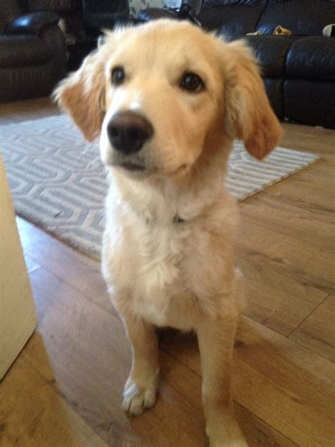 4 month golden retriever 4 month golden retriever pup loughborough leicestershire pets4homes