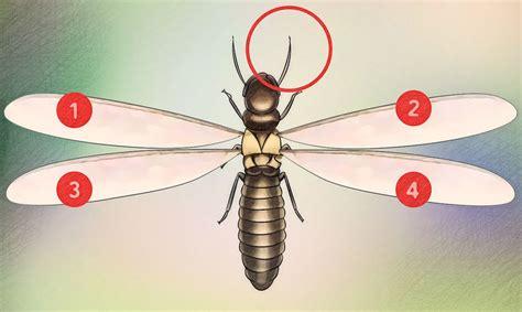 Termite Volante Maison