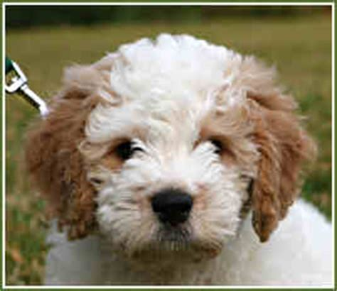 goldendoodle puppy coat changes goldendoodle coat changes from puppy to