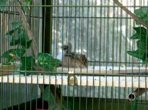 gabbia per scoiattoli giapponesi scoiattolo giapponese tamia un po arrabbiato