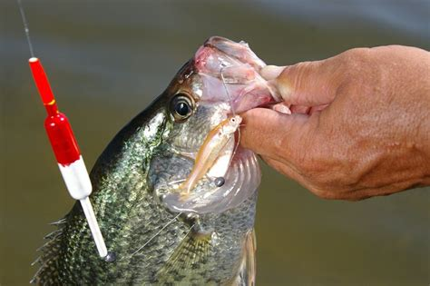 minnows  crappie fishing   inseparable duo