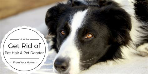 how to get rid of dog hair in house how to get rid of pet hair pet dander from your home