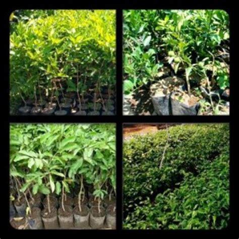 Jual Bibit Cendana Di Medan jual tanaman obat di medan tanamanbaru
