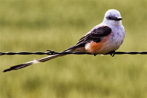 oklahoma state bird scissortail flycatcher flickr