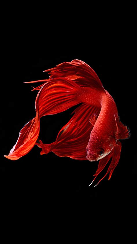 wallpaper iphone 6 fish betta fish wallpaper ios 9 hd animal wallpaper for