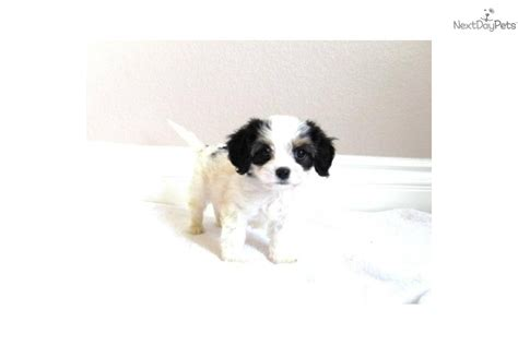 puppies for sale in san diego ca cavachon puppy for sale near san diego california ab7d4792 5ba1