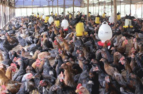 Dod Bebek Hibrida Blitar sumber rejeki farm review harga ayam kung q3 dan q4