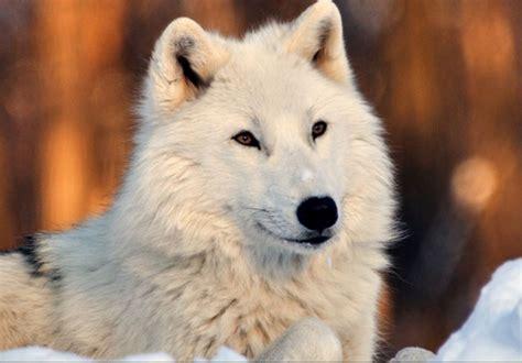 wallpaper google chrome wolf wolf wallpaper hd new tab hd wallpaper