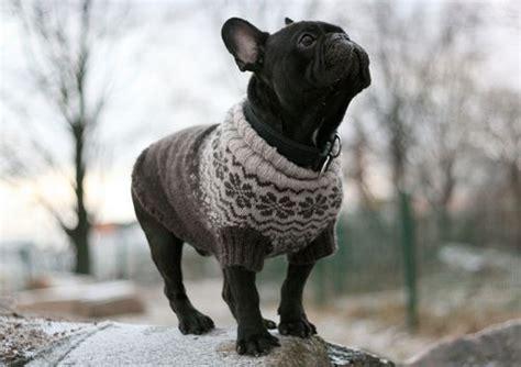 knitting pattern sweater french bulldog limited edition french bulldog tee cute sweaters puppys