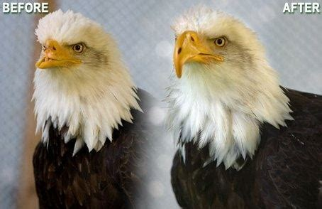 Do Eagles Shed Their Beaks by Do Eagles Really Lose Their Talons And Beak During A