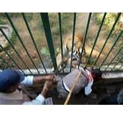 Big Cat Killings Maulings Escapes