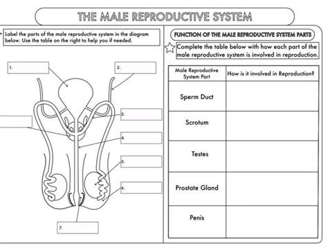 The Reproductive System Worksheet by Human Reproduction Worksheet Worksheets Releaseboard