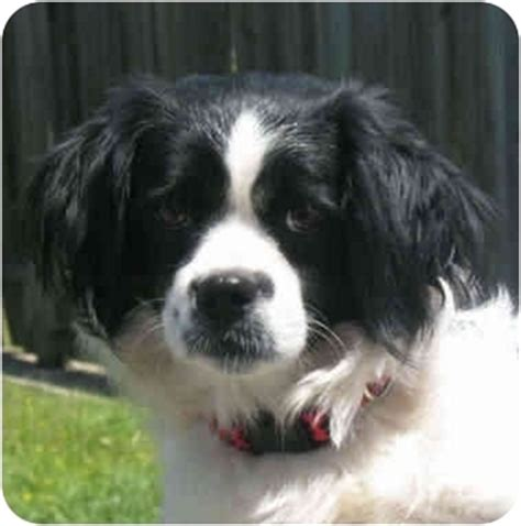 king charles spaniel and pomeranian adopted kingwood tx cavalier king charles spaniel pomeranian mix