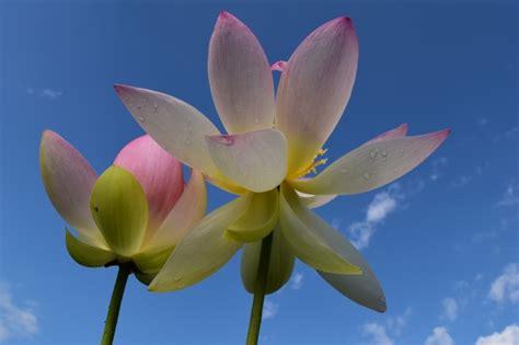 fiore di loto simbologia simbologia fior di loto