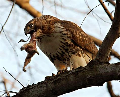 what eats red tailed hawks