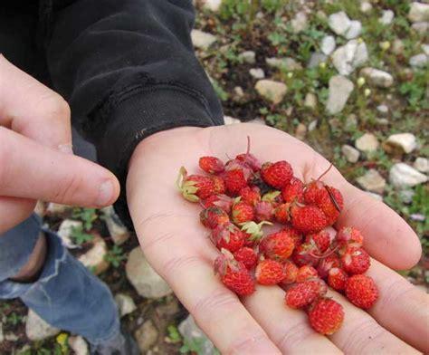 Walderdbeeren Giftig by Mission Leads To Strawberries Flowers