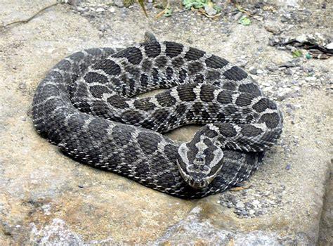 grey diamond pattern snake file massasauga rattlesnake jpg wikimedia commons