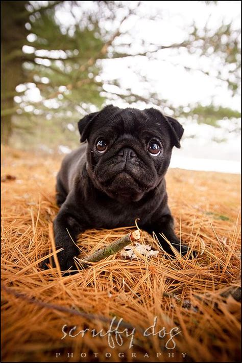 black pug pottery 17 best ideas about pug photos on ban original pugs and hello definition