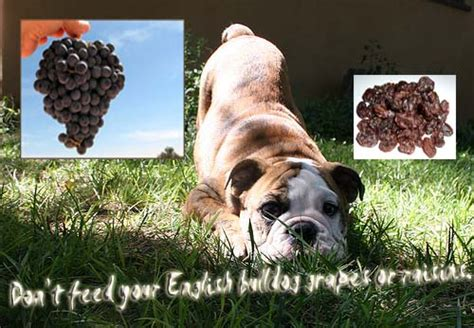 are grapes poisonous to dogs are grapes and raisins poisonous to dogs bulldog