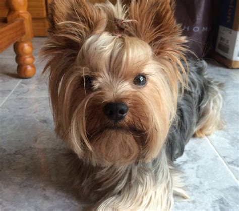 yorkie color yorkie color coloring europe travel guides