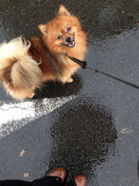 pomeranian for stud service pomeranian stud services stockport greater manchester pets4homes