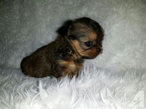 shorkie puppies for sale in michigan shorkie puppies for sale in michigan classified americanlisted