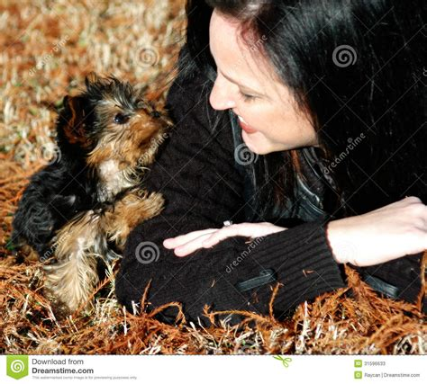 mini yorkie rescue miniature yorkie puppy stock photos image 31596633