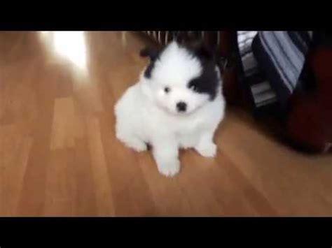 pomeranian puppies greensboro nc teacup pomeranian puppies for sale in greensboro nc funnydog tv