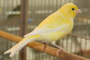 Canary by Joe S Canaries Home American Singer Canary American