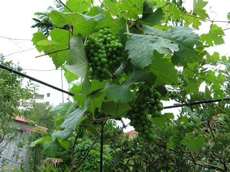 Benih Pokok Anggur penanaman anggur di malaysia keredhaanmu ya allah