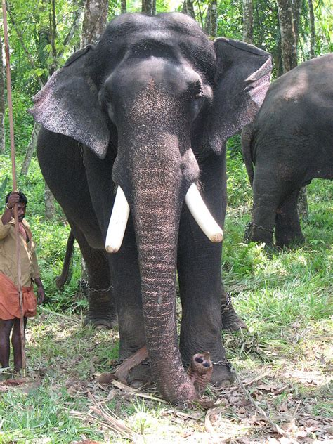 top 10 famous elephants living in kerala yatramantra