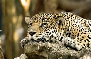 How To Spell Jaguar Ghepard Wallpaper