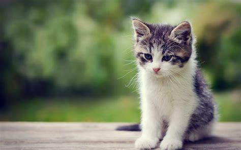 cute kitty wallpapers wallpapersafari