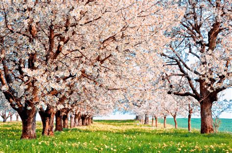 cherry blossom tree facts 16 cherry blossoms facts cherry blossoms and blossom