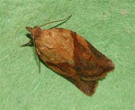 light brown apple moth usda maintains classification of light brown apple moth as