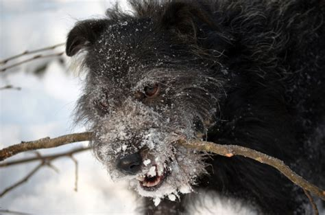 how to keep dogs warm in winter how to keep dogs warm outside in the winter napa s daily growl
