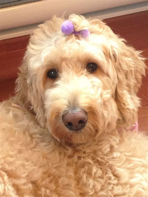 dog haircuts austin 17 best images about doods on pinterest f1b goldendoodle