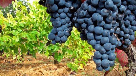 imagenes de como hacer uvas vi 241 edos espa 241 oles mejores vi 241 edos uva de calidad