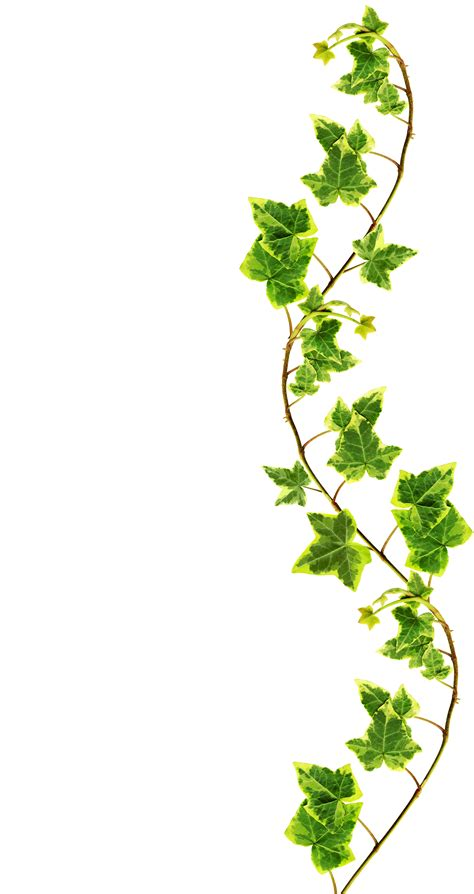 green vine wallpaper clipping path border made of green ivy isolated on white