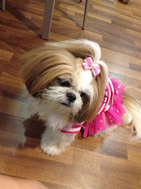 top knot shih tzu 105 best images about shih tzu hair cuts on hair dos puppys and sweet
